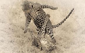 Картинка животные, кошки, игра, гепард, гепарды