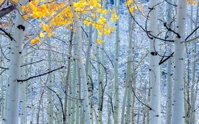 Обои осень, деревья, берёзы