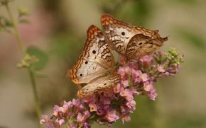 Картинка цветок, макро, бабочки, White Peacock Butterfly
