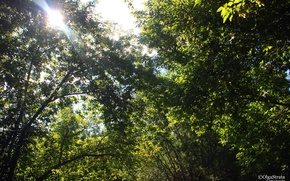 Картинка зелень, солнце, листва