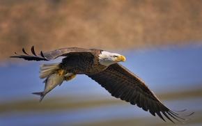 Белоголовый орлан, птица, хищник, рыба, полёт, крылья, улов, добыча обои