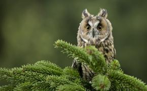 Картинка глаза, сова, птица, ель, ветка, перья