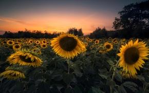 Картинка поле, подсолнухи, закат, вечер, желтые