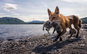 Картинка природа, лиса, охота