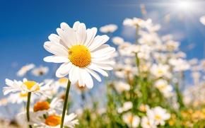 Обои поле, цветы, ромашки