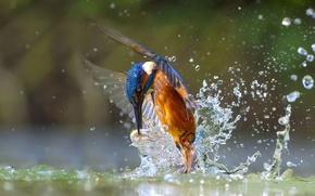 Картинка вода, брызги, птица, рыба, зимородок, улов