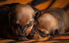 Обои собаки, щенки, мордашки