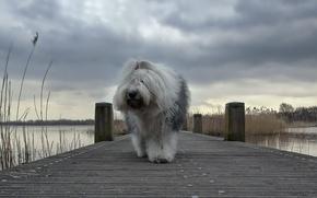 Картинка собака, озеро, мос
