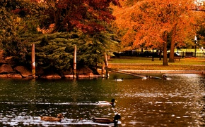 Картинка осень, деревья, пруд, парк, утки, Nature, trees, park, autumn, pond, fall
