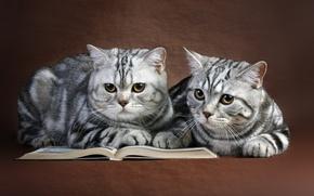 Картинка кошки, книга, парочка
