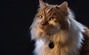 Обои кошка, кот, взгляд, фон, портрет, пушистая