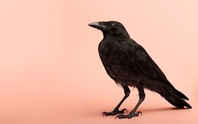 Картинка птица, ворон, пернатые