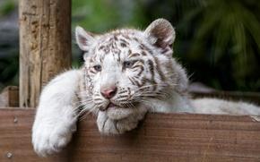 Картинка кошка, взгляд, котёнок, голубые глаза, белый тигр, тигрёнок, ©Tambako The Jaguar