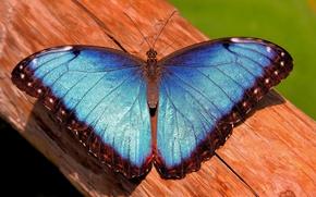 Картинка бабочка, ствол, морфо, mrpho