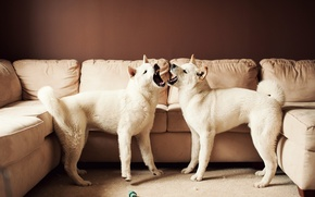 Картинка диван, Американская акита, Большая японская собака