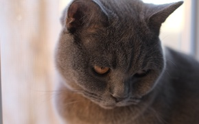 Картинка котёнок, Британский кот, голубой кот