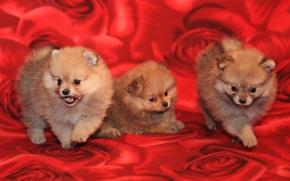 Картинка собаки, щенки, пушистики, трое, шпиц