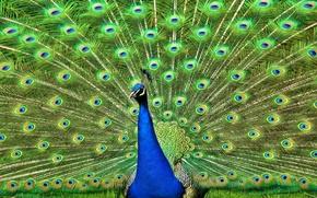 Картинка птица, перья, хвост, павлин