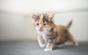 Обои котёнок, малыш, Мейн-кун