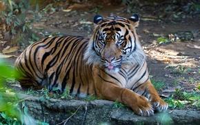 Картинка язык, кошка, тигр, суматранский