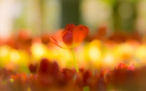 Картинка лето, цветы, тюльпаны