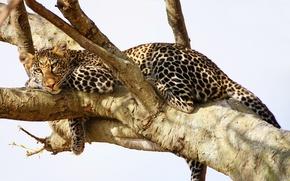 Картинка леопард, взгляд, хищник, отдых, дерево