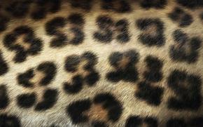Обои Леопард, Пятна, Шерсть