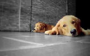 Картинка Dog, Golden, Dogs, Golden Retriever, Animals, Animal, Pet, Retriever, LP-Photography