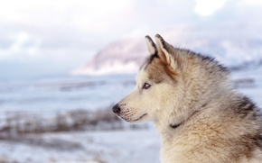 Картинка beach, sea, ocean, dog, winter, clouds, mountain, snow, seaside, husky