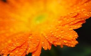 Обои лепестки, оранжевый, капли