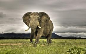Обои трава, слон