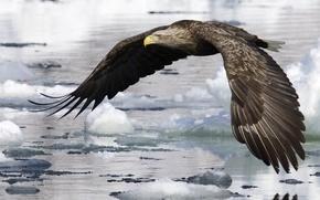 Обои вода, полет, крылья, льды, Птица, орел
