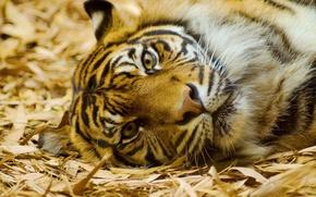 Картинка усы, взгляд, морда, тигр, лежит, смотрит