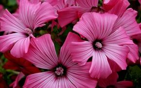 Картинка макро, Цветы, розовые, pink, flowers, macro
