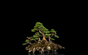 Картинка отражение, фон, дерево, чёрный, бонсай, мини