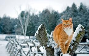 Картинка зима, кошка, кот, снег, деревья, природа, забор, рыжий