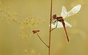 Картинка макро, растение, крылья, стрекоза, насекомое, обои от lolita777