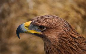Картинка взгляд, перья, глаз, клюв, Птица, орел