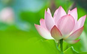 Картинка цветок, лотос, Lotus