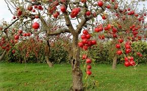 Картинка осень, яблоки, яблони