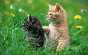 Обои животные, котенок, рыжий, серый, кот