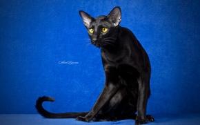 Картинка глаза, кот, взгляд, черный кот, синий фон, ориентал