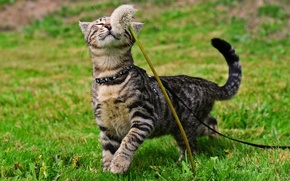 Картинка кот, одуванчик, кошак, прогулка, травка, котяра