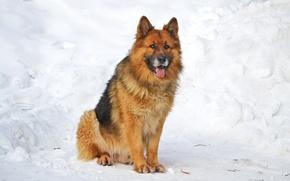 Картинка Собака, немецкая овчарка, Шерхан