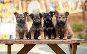 Картинка собаки, щенки, скамья