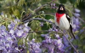 Обои птица, ветка, глициния, вистерия, Красногрудый дубоносовый кардинал