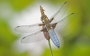 Картинка макро, крылья, стрекоза, насекомое