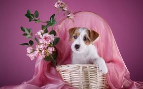 Картинка корзина, розы, ожерелье, щенок, силихем-терьер