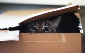 Обои коробка, взгляд, глаза, кот
