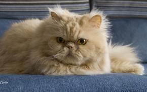 Картинка кот, усы, взгляд, пушистый, рыжий, перс, персидская кошка